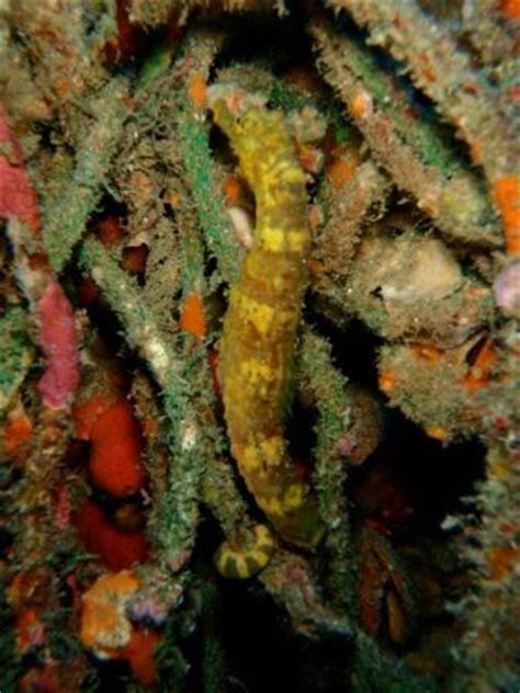 Tiger Tail Seahorse (see its tail holding on to the branch