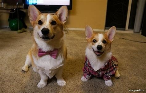What is the difference between corgis and shibas? - Quora